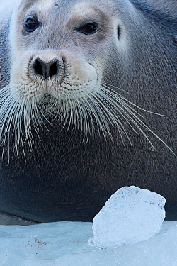 Bearded seal (Erignathus barbatus) Spitsbergen, Svalbard, Norway, September.