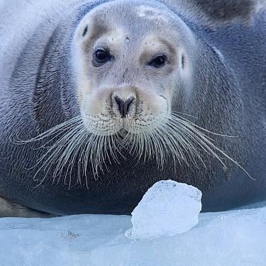 Bearded seal (Erignathus barbatus) hauled out on ice,  Spitsbergen, Svalbard, Norway, September.
