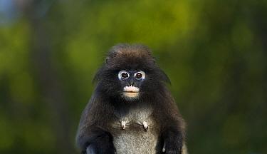 Dusky leaf monkey (Trachypithecus obscurus) female portrait  . Khao Sam Roi Yot National Park, Thailand.