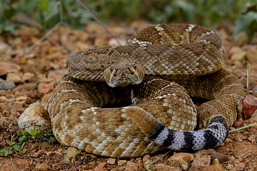 Red diamond rattlesnake (Crotalus ruber ruber) South West California, USA, September. Controlled conditions.