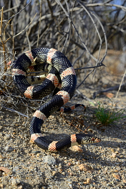 Long-nosed snake (Rhinocheilus lecontei) in bush, Panamint mountains, Death Valley National Park, California, USA. May.