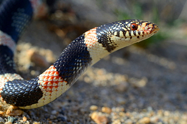 Long-nosed snake (Rhinocheilus lecontei) portrait, Panamint mountains, Death Valley National Park, California, USA. May.
