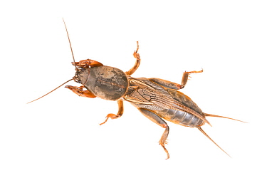 Mole cricket (Gryllotalpa gryllotalpa) male, The Netherlands, April.Meetyourneighbours.net project