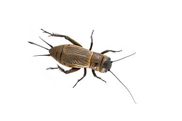 Field cricket (Gryllus campestris) female, La Brenne, France. May. Meetyourneighbours.net project