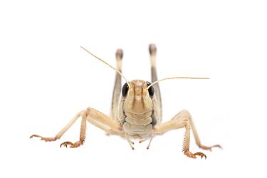 Migratory locust (Locusta migratoria) male, captive,  occurs in Eurasia, Australasia and Africa, Meetyourneighbours.net project