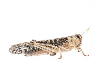 Migratory locust (Locusta migratoria) female, captive, occurs in Eurasia, Australasia and Africa, Meetyourneighbours.net project
