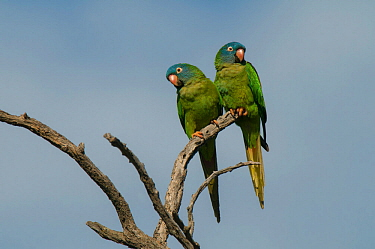 Blue-crowned parakeet (Thectocercus acuticaudatus) two perched together. Ibera Marshes, Corrientes Province, Argentina.