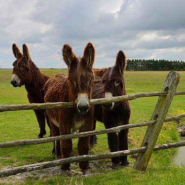 Poitou donkeys in field, looking over fence, Vendee, France, May.