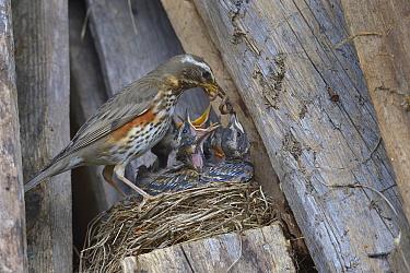 Redwing (Turdus iliacus) feeding chicks an earthworm in the nest, Finland, April.