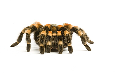 Mexican red-kneed tarantula (Brachypelma smithii) on white background, captive occurs in Mexico.