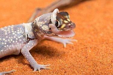 Australian barking gecko (Underwoodisaurus milii) shedding skin, captive, occurs in Australia.