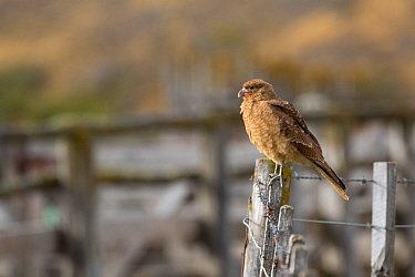 Chimango caracara (Milvago chimango) perched on fence post, Patagonia, Chile.