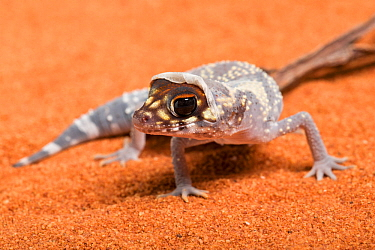 Australian barking gecko (Underwoodisaurus milii) shedding skin. Captive, occurs in Australia.