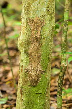 Mossy leaf-tailed gecko (Uroplatus sikorae) camouflaged on tree stem, Montagne D'Ambre, Madagascar.
