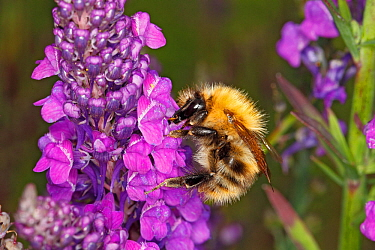Common carder bumblebee (Bombus pascuorum) worker feeding on Purple Toadflax (Linaria purpurea) in garden Cheshire, England, UK. July.
