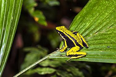 Three-striped poison frog (Ameerega trivittata) Panguana Reserve, Huanuco province, Amazon basin, Peru.