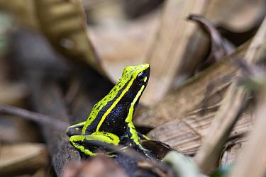 Three-striped poison frog (Ameerega trivittata) in rainforest, Panguana Reserve, Huanuco province, Amazon basin, Peru.