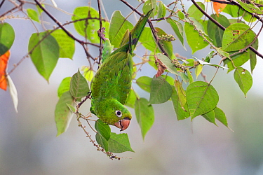 White-eyed parakeet  (Aratinga leucophthalmus) hanging in tree, Panguana Reserve, Huanuca province, Amazon basin, Peru.