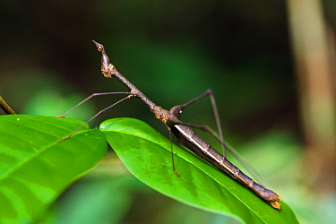 Jumping stick grasshopper (Apioscelis sp) Panguana Reserve, Huanuco province, Amazon basin, Peru.