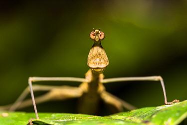 Jumping stick grasshopper (Apioscelis bulbosa) Panguana Reserve, Huanuco province, Amazon basin, Peru.