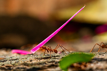 Leafcutter ant (Atta cephalotes) carrying leaves and flowers, Panguana Reserve, Huanuco province, Amazon basin, Peru.