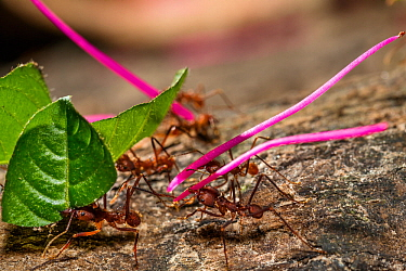 Leafcutter ants (Atta cephalotes) carrying leaves and flowers, rainforest, Panguana Reserve, Huanuco province, Amazon basin, Peru.