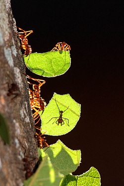 Leafcutter ants (Atta cephalotes) carrying leaves, Pucallpa, Huanuco province, Peru.