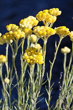 Dwarf everlasting flowers (Helichrysum arenarium) Plana de St. Jordi, Area of Natural Interest, Tarragona, Catalonia, Spain, May.