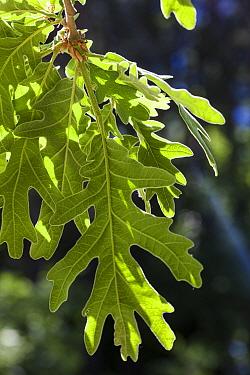 Pyrenean oak tree (Quercus pyrenaica) leaves, Prades Mountain Area of Natural Interest, Tarragona, Catalonia,  Spain, May.