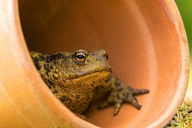 Common toad (Bufo bufo), sheltering in flowerpot, Cornwall, UK. May 2015.