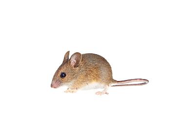 Wood mouse (Apodemus sylvaticus) Worcestershire, England, UK, May,