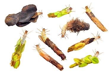 Composite of Caddisfly (Trichoptera) larva and cases, Worcestershire, England, UK, May.