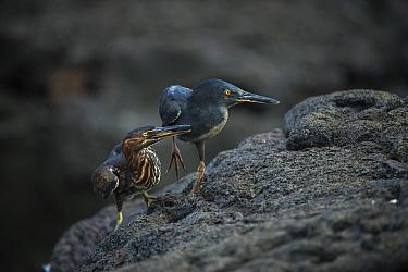 Lava Heron (Butorides sundevalli) adult and juvenile, Galapagos. Endemic.