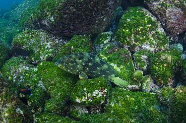Flag cabrilla (Epinephelus labriformis) swimming near algae covered rocks, Galapagos.