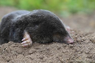 Common Mole (Talpa europaea) dead, Norfolk, England, UK June.
