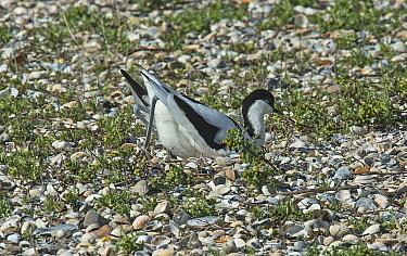 Pied avocet (Recurvirostra avosetta) making a nest scrape on a shingle island. Oosterendl, Texel Island, The Netherlands.