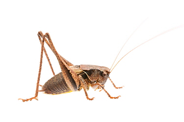 Dark bush-cricket (Pholidoptera griseoaptera) male, France, July. Meetyourneighbours.net project