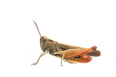 Woodland grasshopper (Omocestus rufipes) male, The Netherlands, September. Meetyourneighbours.net project