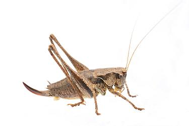 Dark bush-cricket (Pholidoptera griseoaptera) female, The Netherlands, September. Meetyourneighbours.net project