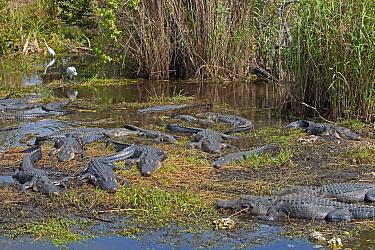 American alligators (Alligator mississippiensis) basking, Royal Palm, Everglades National Park, Florida, USA. March.