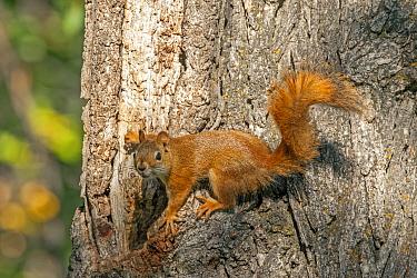 Western fox squirrel (Sciurus niger) on tree trunk gathering acorns,  Custer State Park, South Dakota, USA. September 2013.
