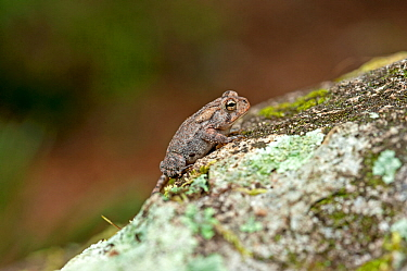 Oak toad (Bufo quercicus) on a rock, O'Leno State Park, High Springs, Florida, USA. October.