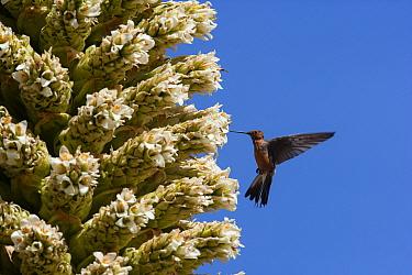Giant humming bird (Patagona gigas) feeding from Queen of the Andes (Puya raymondii) flowers,  Cordillera Blanca Massif, Andes, Peru, November.