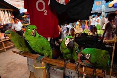 Various parrots from left to right,  Orange winged amazon (Amazona amazonica),  Scaly-naped amazon (Amazona mercenaria), two Chestnut-fronted macaws (Ara severus) for sale in Yurimanguas market, Amazo...