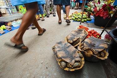 Yellow-footed tortoises (Geochelone denticulata) for sale in Yurimaguas market, Amazon, Peru, November 2006.