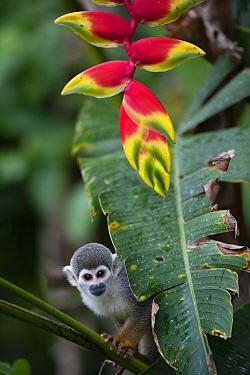 Common squirrel monkey (Saimiri sciureus) and  Heleconia flower (Heliconia rostrata) Amazon, Peru.