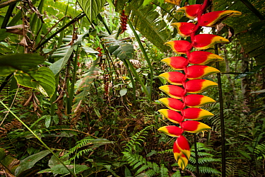 Heleconia flower (Heliconia rostrata) Amazon, Peru.