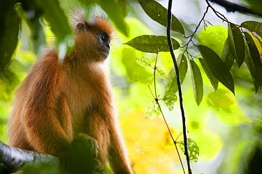 Mitred leaf monkey  (Presbytis melalophos fuscomurina) sitting in tree, Maninjau lake, Sumatra, Indonesia.