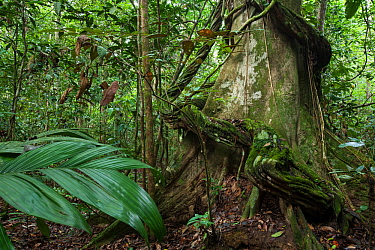 Thick liana growing around the trunk of a rainforest tree, Way Kambas National Park, Sumatra, Indonesia.