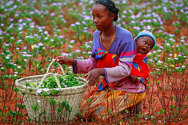 Woman with baby collecting Madagascar periwinkle (Catharanthus roseus) flowers and leaves, used in herbal medicine, and containing molecules which are used in the treatment of leukemia cancer. Berenty...